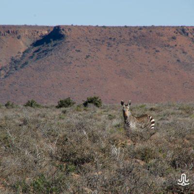 Equus zebra zebra