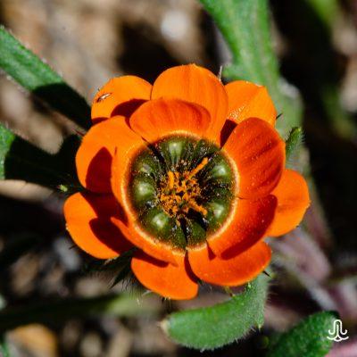 Gorteria diffusa ssp. calendulacea