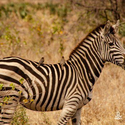 Equus quagga chapmani - Chapman´s zebra