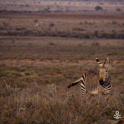 Equus zebra