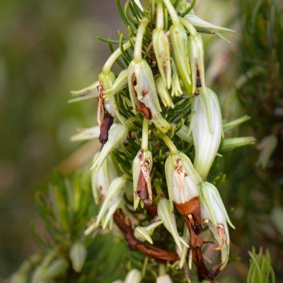 Erica plukenetii spp. penicellata