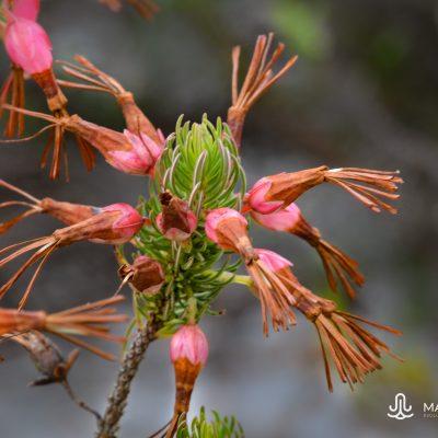 Erica plukenetii ssp. plukenetii