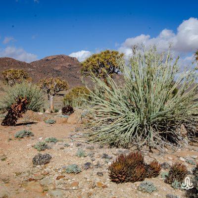 Euphorbia dregeana