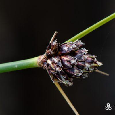 Ficinia sp.