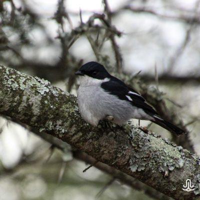 Melaenornis silens (Fiscal flycatcher)