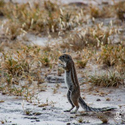 Geosciurus inauris