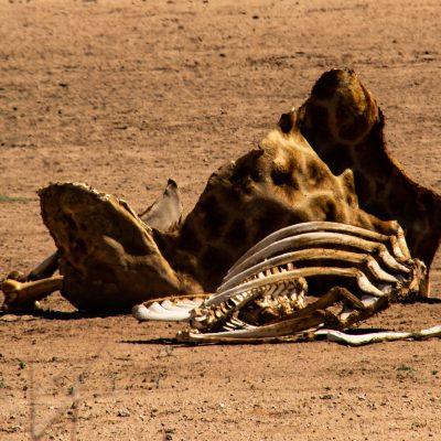 GIraffa camelopardalis carcass