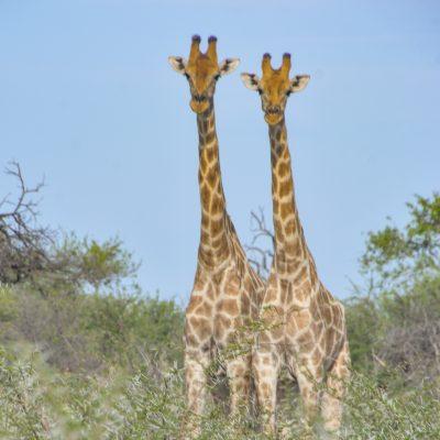 Giraffa camelopardalis ssp. angolensis