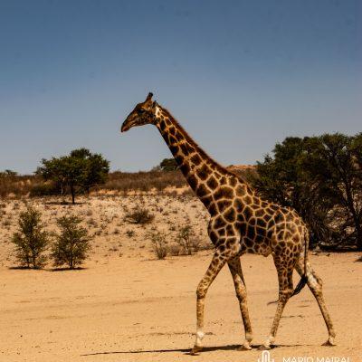 Giraffa camelopardalis ssp. giraffa