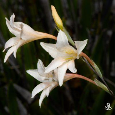 Gladiolus monticola