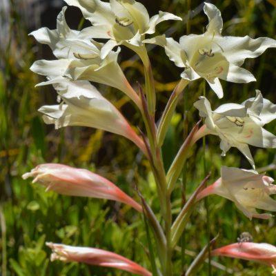 Gladiolus undulatus