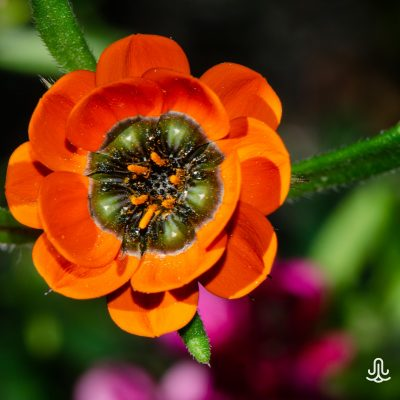 Gorteria diffusa calendulacea