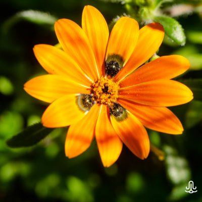 Gorteria diffusa diffusa -