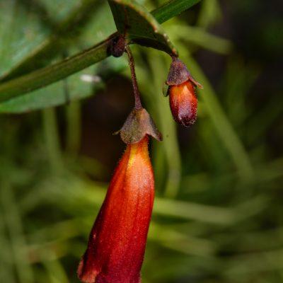 Halleria eliptica
