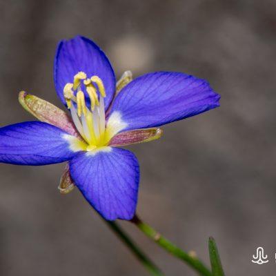 Heliophila linearis linearifolia