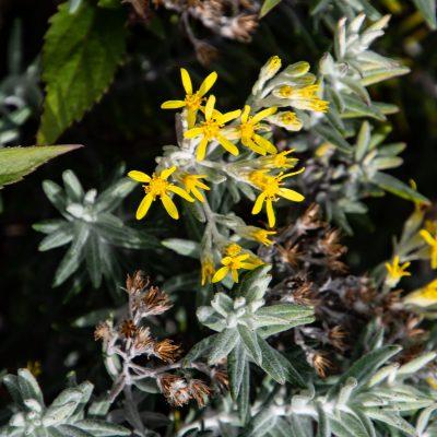 Hubertia tomentosa