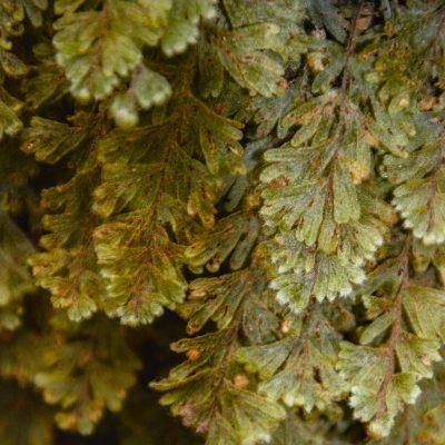 Hymenophyllum