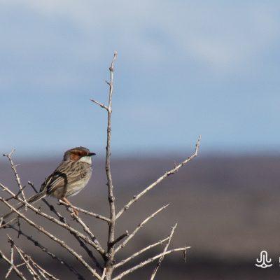 Malcorus pectoralis -Rufous-eared Warbler