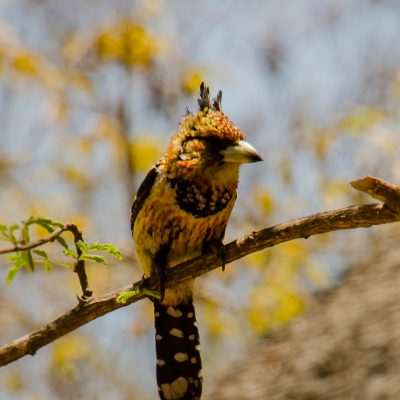Trachyphonus vaillantii (Crested barbet)