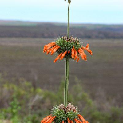 Leonotis ocymifolia - minaret flower