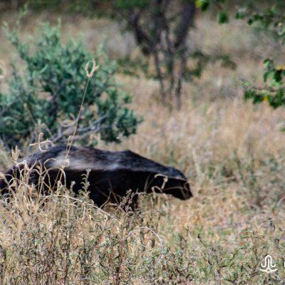 Mellivora capensis