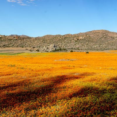 Namaqualand blooming