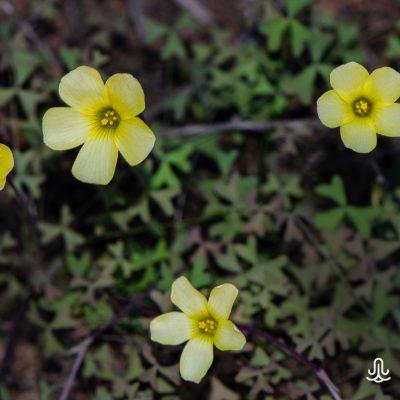 Oxalis obtusa