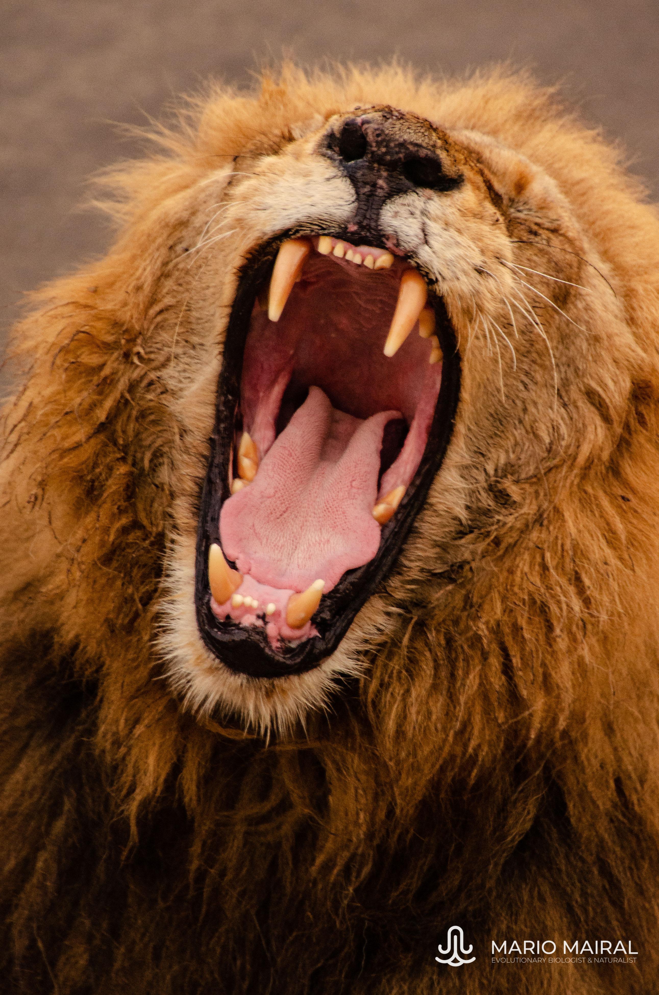 Panthera leo melanochaita