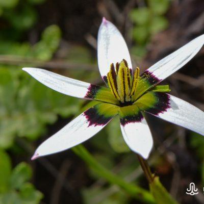 Pauridia capensis