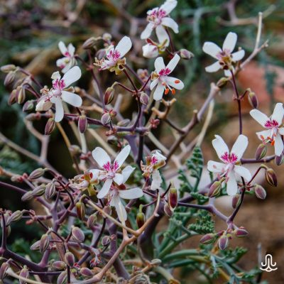 Pelargonium chithmifolium