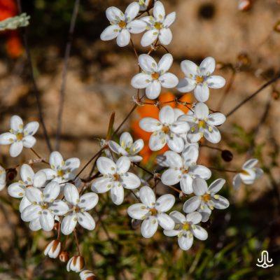 Pharnaceum sp.