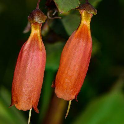 Halleria sp.
