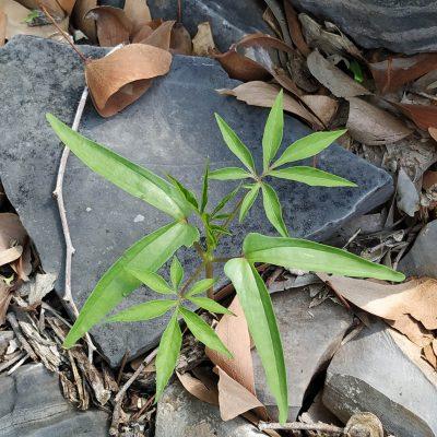Mopane seedling