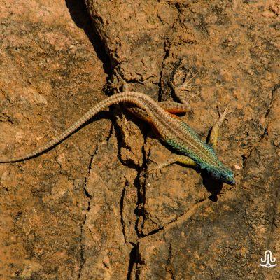 Platysaurus broadleyi - Augrabies flat lizard