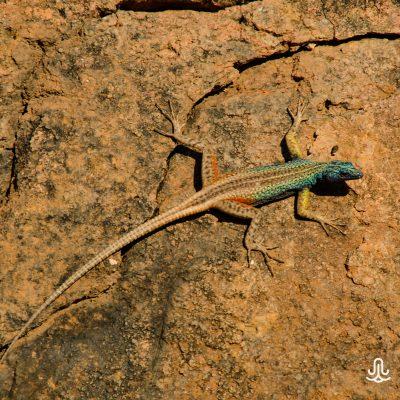 Platysaurus broadleyi - Augrabies flat lizard-