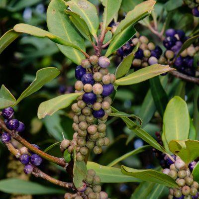 Rapanea melanophloeos - Cape beech