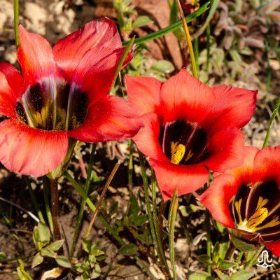 Romulea sabulosa