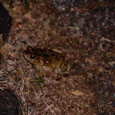 Sclerophrys gutturalis