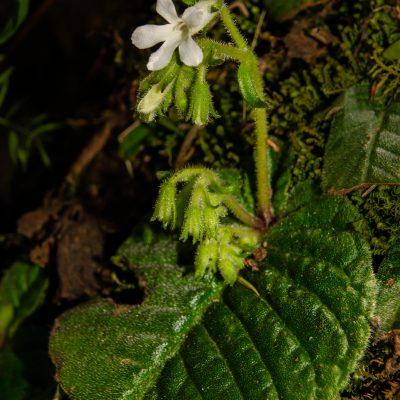 Streptocarpus sp.