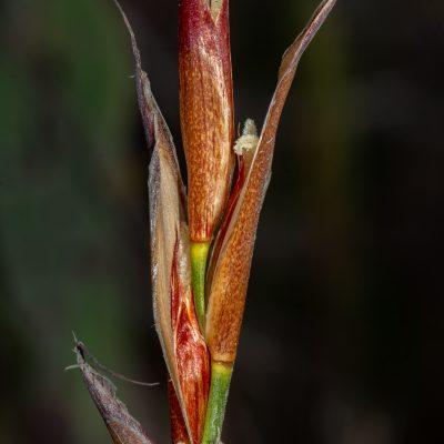 Wildenowia sulcata