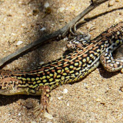 Acanthodactylus margaritae