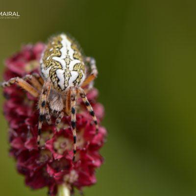 Aculeperia ceropegia