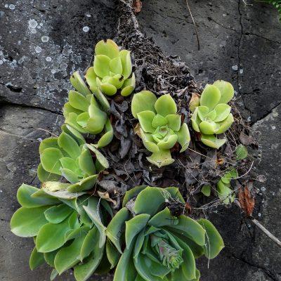Aeonium canariense virgineum