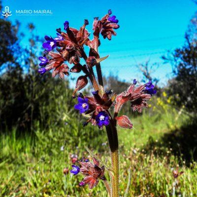 Anchusa undulata