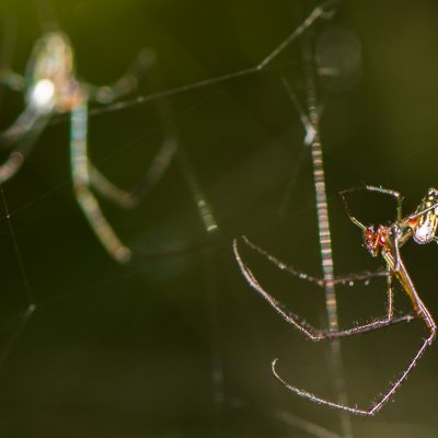 Social spiders