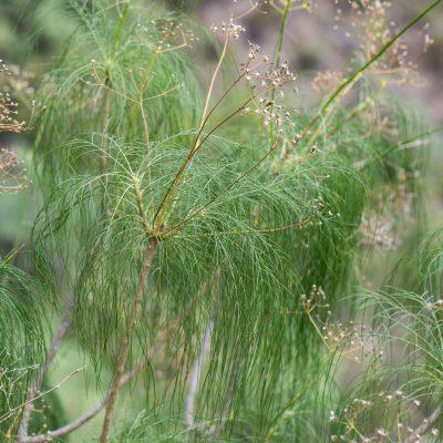 Atalanthus sp.