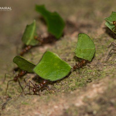 Atta cephalotes-