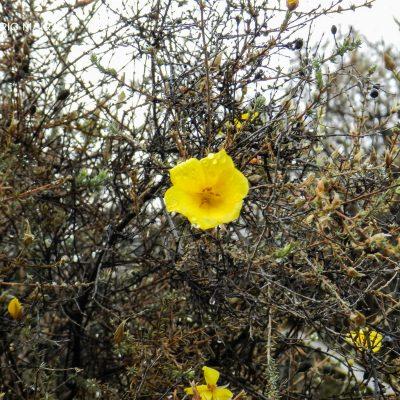 Balbisia meyeniana