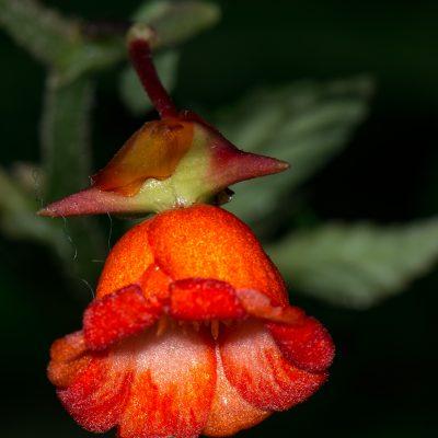 Begonia longirostris