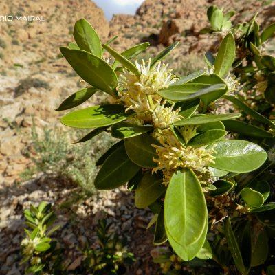 Buxus balearica
